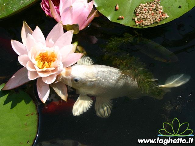 Sito per gli appassionati di laghetti pesci for Laghetto per carpe koi
