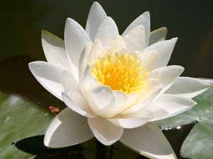 Pianta di ninfea da laghetto fiore bianco ninfee rizomi ebay for Laghetto con ninfee