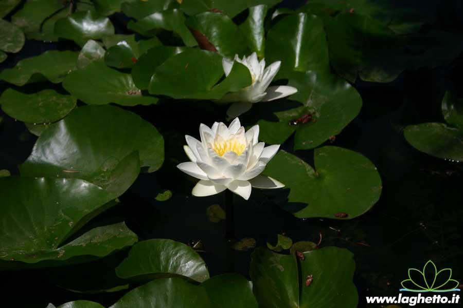 White sultan piante acquatiche ninfee fiore di loto for Piante palustri