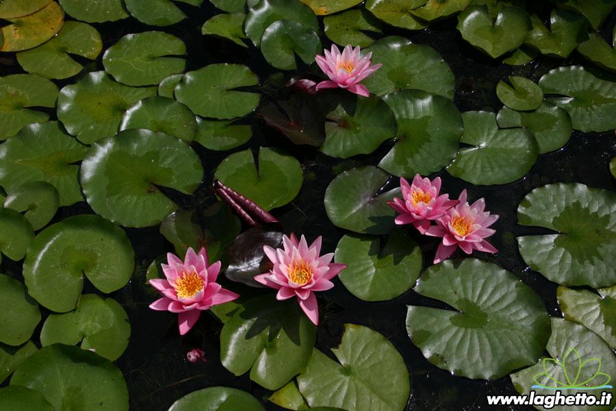 Pink sensation piante acquatiche ninfee fiore di for Piante palustri laghetto