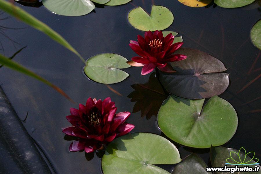 Almost black piante acquatiche ninfee fiore di loto for Piante palustri laghetto