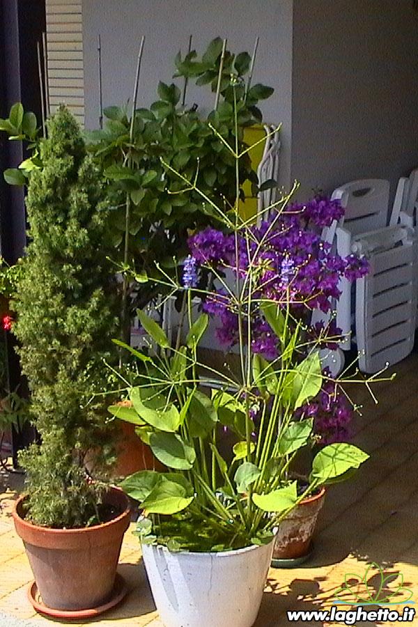 Piante palustri alisma plantago aquatica piante for Piante palustri