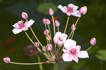 Piante palustri butomus umbrellatus piante acquatiche for Piante palustri
