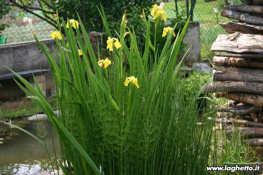 Piante palustri iris pseudacorus piante acquatiche for Piante palustri