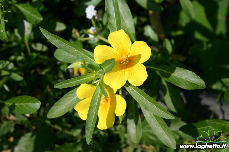 Piante palustri ludwigia palustris piante acquatiche for Piante palustri laghetto