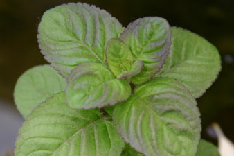 Piante palustri mentha aquatica piante acquatiche for Piante palustri