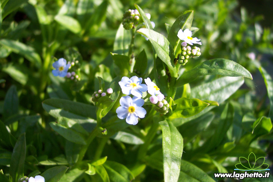 Piante palustri myosotis scirpoides piante acquatiche for Bordure per laghetti