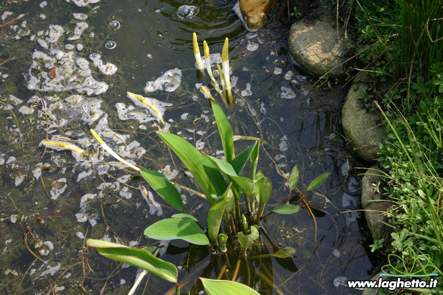 Piante palustri orontium aquaticum piante acquatiche for Piante palustri