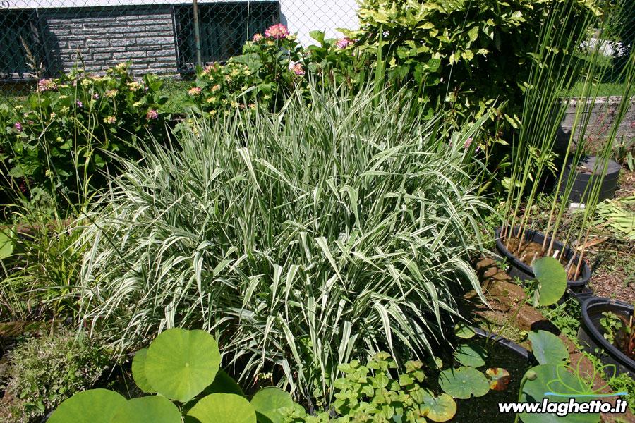 Piante palustri phalaris arundinacea piante acquatiche for Piante palustri