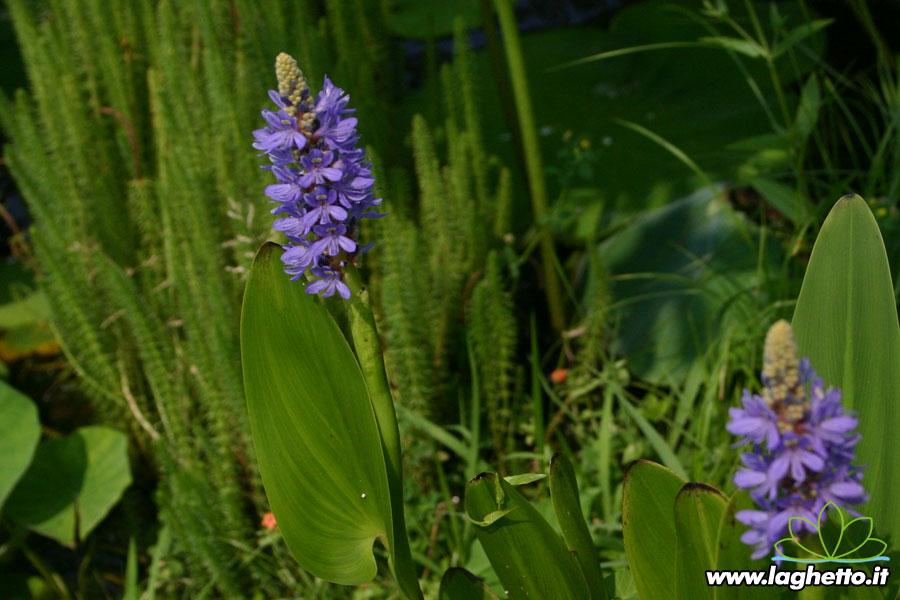 Piante acquatiche galleggianti piante acquatiche for Piante palustri laghetto