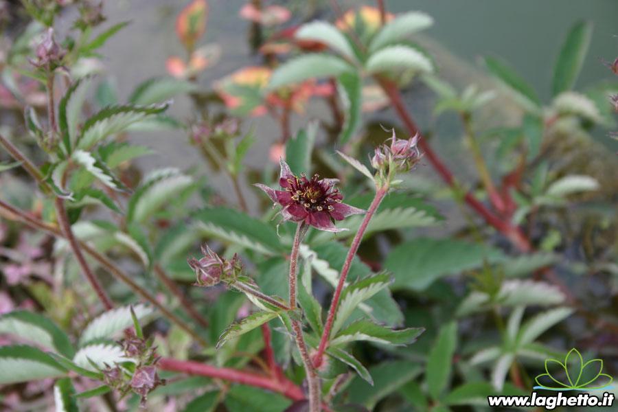Piante palustri potentilla palustris piante acquatiche for Piante palustri