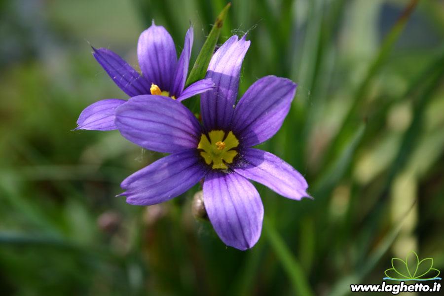 Piante palustri sisirynchium angustifolium piante for Piante palustri