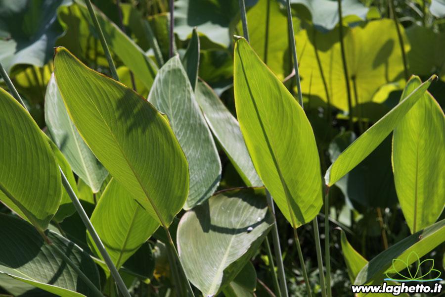 Piante palustri thalia dealbata piante acquatiche for Piante palustri