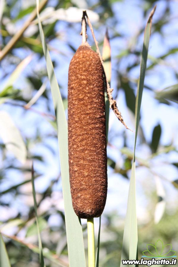 Piante palustri typha latifolia variegata piante for Piante palustri
