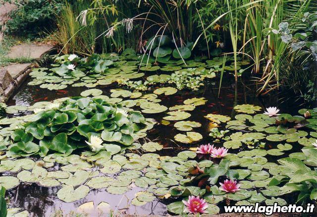 Sito per gli appassionati di laghetti pesci for Piante acquatiche laghetto giardino