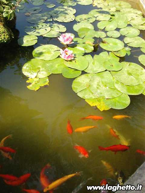 Sito per gli appassionati di laghetti pesci for Pesci rossi laghetto